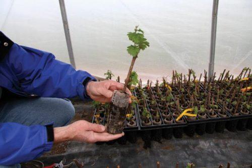 Размножение винограда чубуками