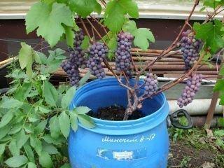Разведение винограда в бочках