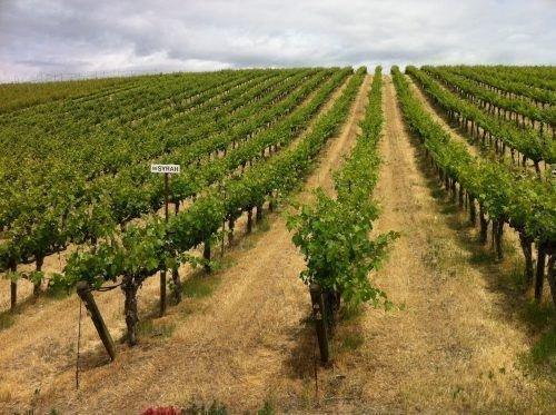 Ряды винограда