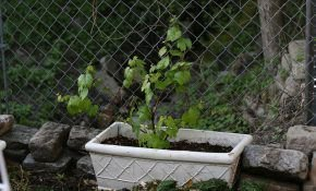 Способы размножения винограда