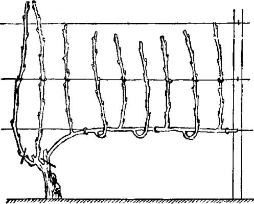 Схема Гюйо формировка винограда