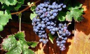 Период вегетации у винограда