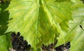 Причины, когда лист винограда приобретает светло-зеленый цвет