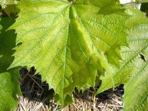 Светлые листья винограда