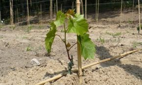 Посадка винограда: какие использовать удобрения