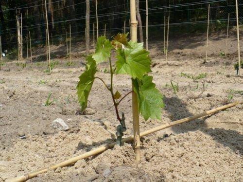 Удобрение винограда при посадке