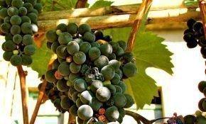 Профилактика заболеваний винограда