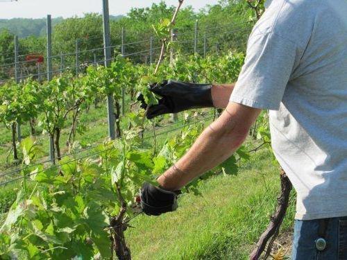 Уход за виноградом на Алтае