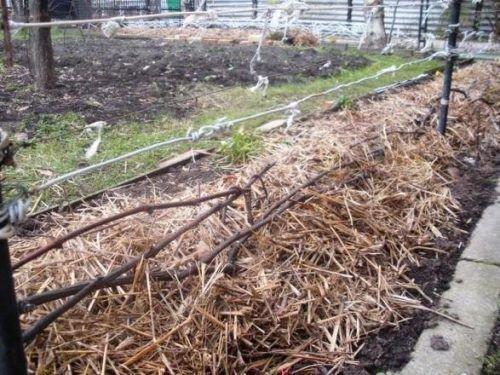 Укрывание винограда на зиму грунтом