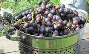 Как ускорить созревание ягод винограда?