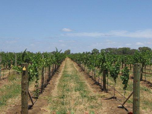 Весенний полив винограда