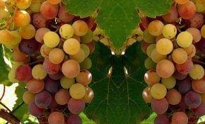 Витамины и полезные веществ в винограде