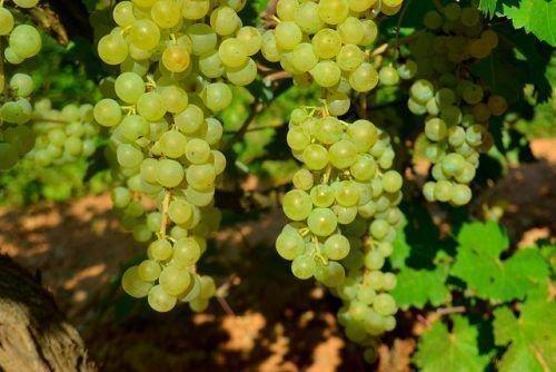 Виноград Албаринье