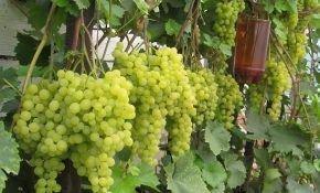 Ранние и супер ранние сорта винограда