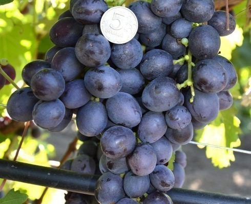 Виноград Аюта
