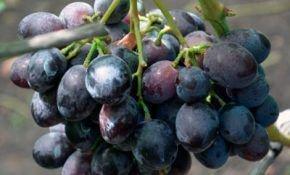 Черный виноград сорта барон