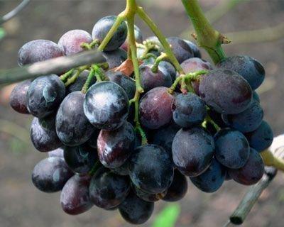 Виноград Барон