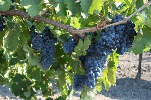 Виноград Бор кара