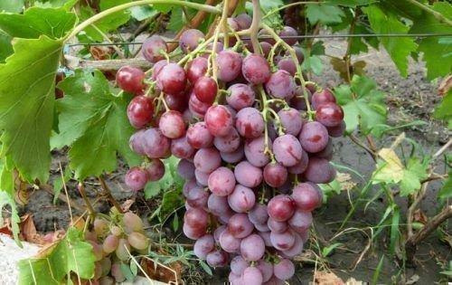 Виноград Червона Троянда