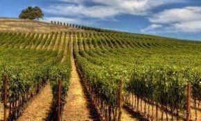 Выращивание винограда в Дагестане