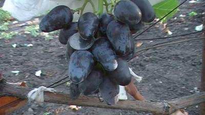 Виноград Дикая роза
