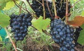 Использование винограда «Добрыня» в качестве подвоя.