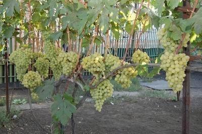 Виноград Долинский Столовый