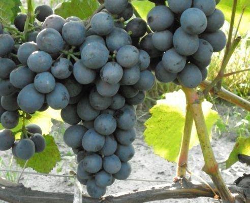 Виноград Донской мускат