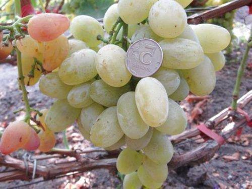 Виноград Джульетта