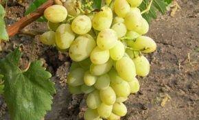 Сорта винограда с самыми крупными ягодами