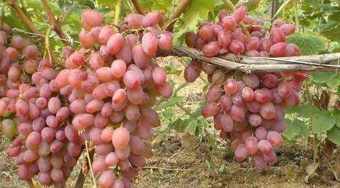 Виноград Гелиос грозди