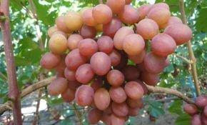 Гурман, что за чудо виноград?