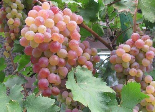 Виноград Гюляби дагестанский
