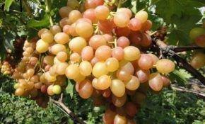 Сорта винограда Вишневецкого: какой выбрать