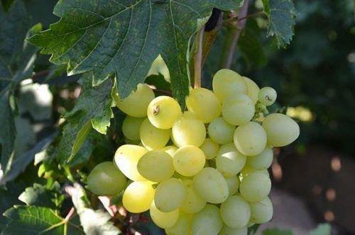 Виноград Хип-Хоп