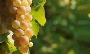 Описание мускатных сортов винограда