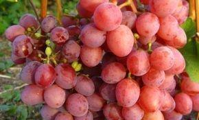 Сортовой виноград под названием Изумление