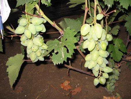 Виноград Камелот
