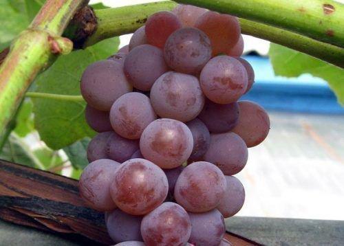 Виноград Кенадис