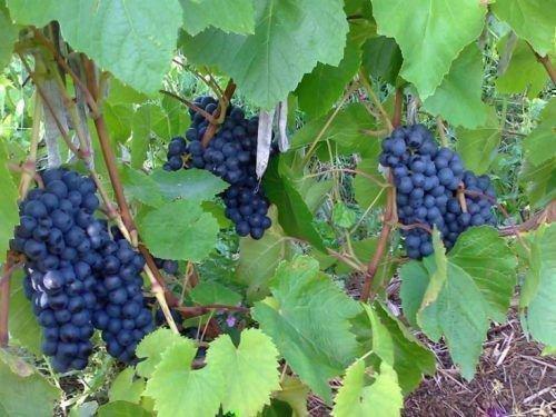 Виноград Кишмиш уникальный