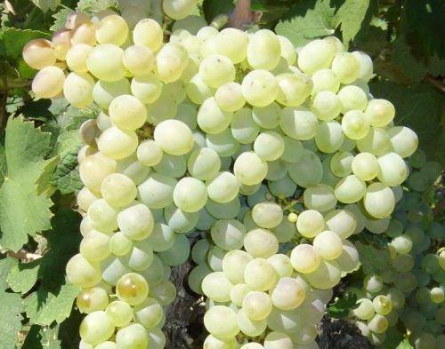 Виноград Клэретт