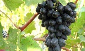 Идеальный виноград: лучшие темные сорта