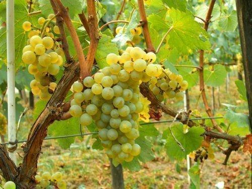 Виноград Коломбар