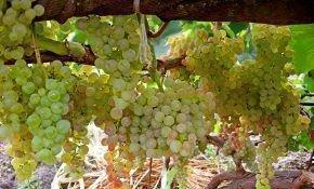 Желтые сорта винограда как называются