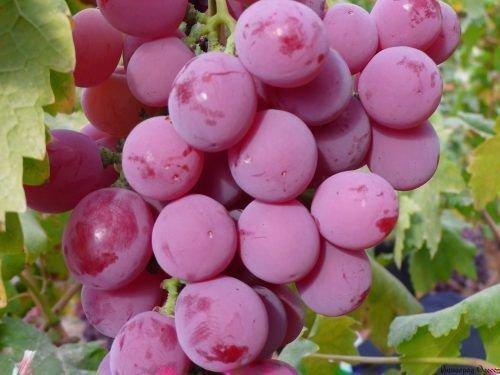 Виноград Красный восторг