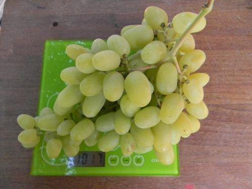 Виноград Ландыш гроздь