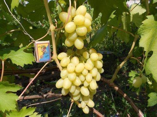 Виноград Ландыш кисть