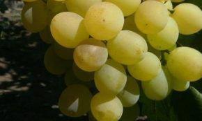 Виноградный сорт Маэстро