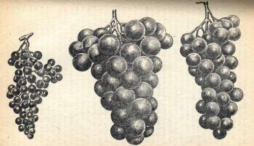 Виноград Мичурина