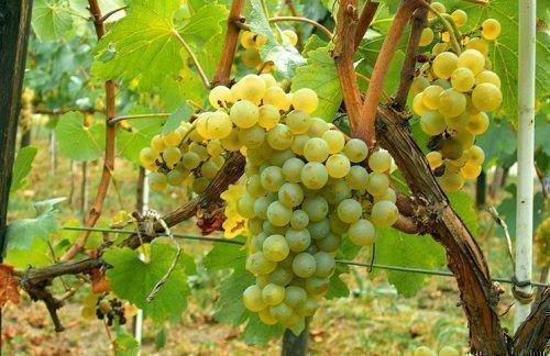 Виноград Московский